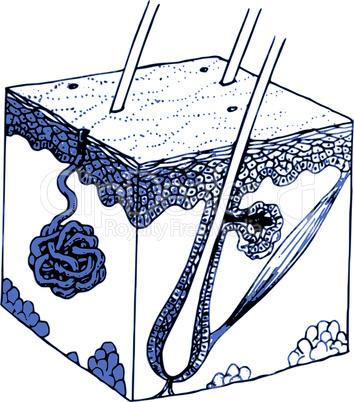 Die Drüsen der Haut/ skin and glands in blue