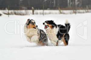 Australian Shepherd Hunde