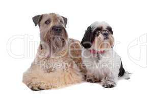 soft coated wheaten terrier and a Shih Tzu dog