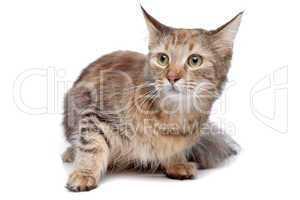 Tiger Katze braun schwarz