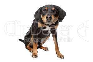 kleiner schwarz braun weißer Hund