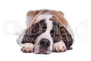 großer weiß brauner Hund
