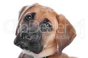 großer brauner Hund, weißer Hintergrund