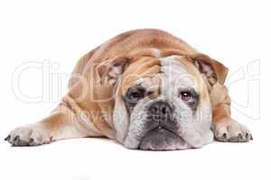 Bulldogge braun weiß, weißer Hintergrund