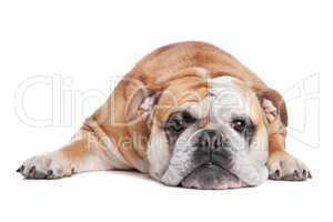 braun weiße Bulldogge