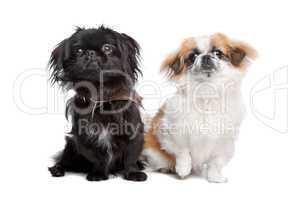 kleiner Hund schwarz und kleiner Hund weiß braun