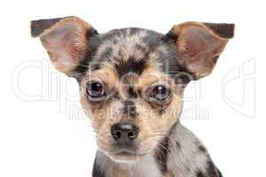 Chihuahua braun schwarz
