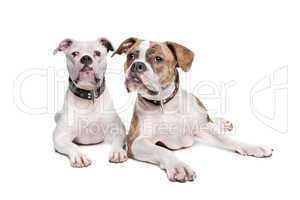 Bulldoggen weiß und weiß braun