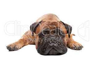 Bulldogge braun, weißer Hintergrund