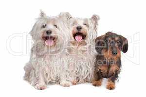 zwei Highland Terrier mit Dackel