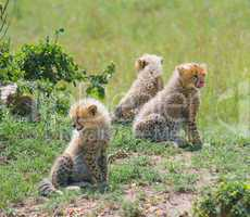 cheetah's cubs