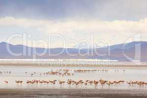 flamingos, standing in the lake, bolivia