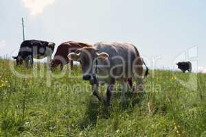 Grauvieh - Kühe