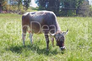 Grauvieh - Kuh