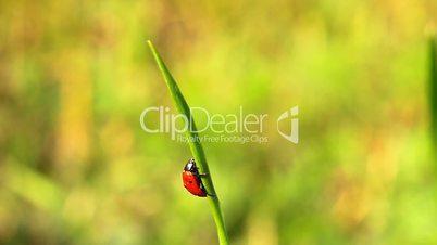 ladybirds on green grass