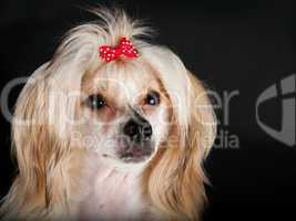 Groomed Chinese Crested Dog