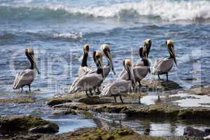 Brown pelicans in Costa Rica