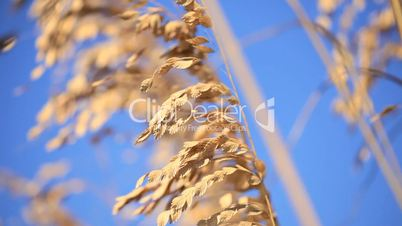 Wild Coastal Grasses in Close-up