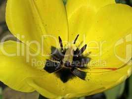 Tulpenkelch - Tulip detail