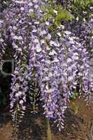 Wisteria sinensis, Chinesische Wisterie (Blauregen)