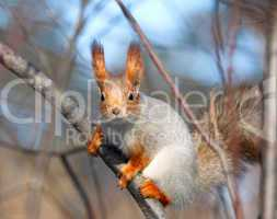 Squirrel.