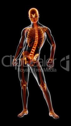 Human Full Skeleton Medical Scan