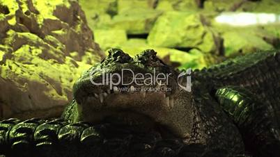 Crocodiles 1