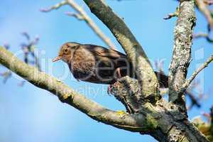 Amsel auf einem Zweig mit dem Blick zur Kamera