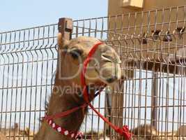 Kamelmarkt in Al-Ain