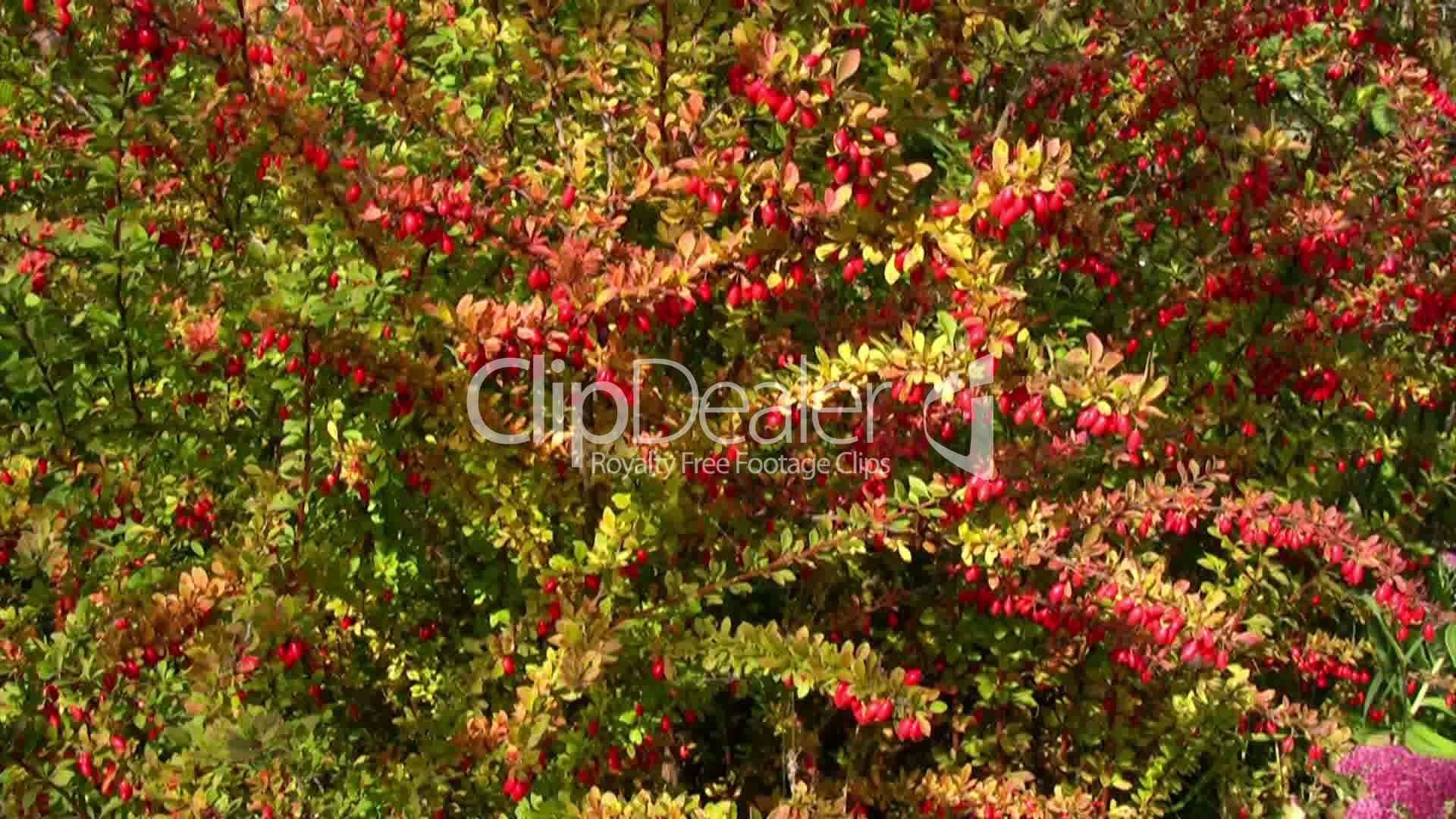 Bush With Red Leaves