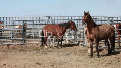 Mustang horse mother and colts P HD 8894