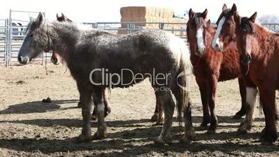 Mustang horses after roundup P HD 8871