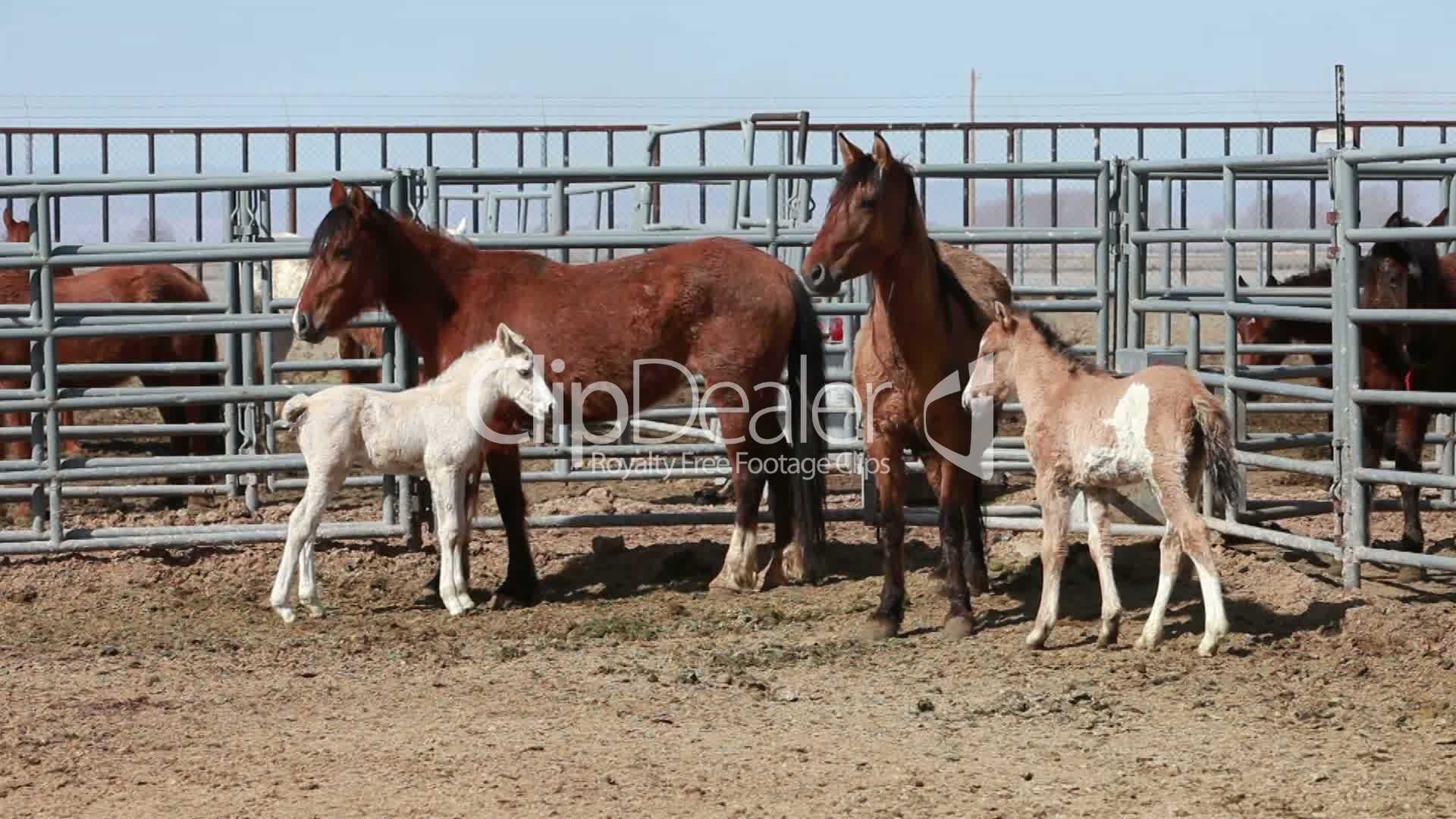 Mustang Horses Mare Colt P Hd 8896 Royalty Free Video And