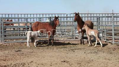 Wild Mustang horse colt mare P HD 8888