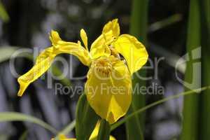 Iris pseudacorus, Wasser-Schwertlilie