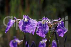 Iris sibirica, Sibirische Schwertlilie (Sibirian Iris)