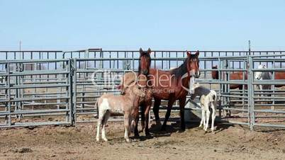 Wild Mustang Horse Mares with colts P HD 8859