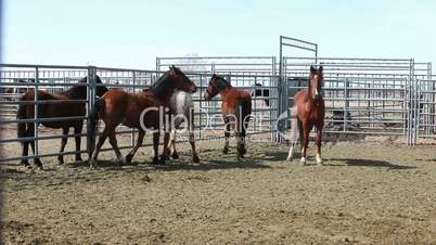 Wild Mustang horses locked in corral P HD 8880