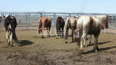 Wild Mustang horses walking corral P HD 8879