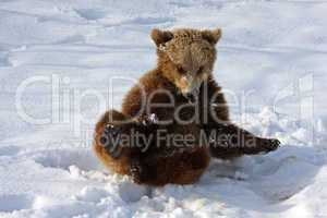 Braunbär Young Brown Bear Play into the Snow