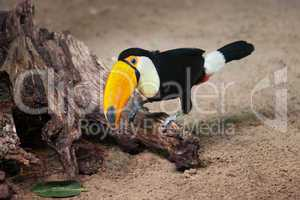 Toco Toucan Sitting on Tree Trunk