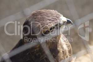 Eagle in an imprisonment behind
