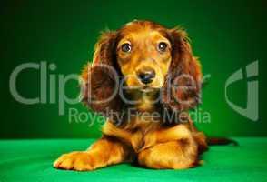 puppy dachshund