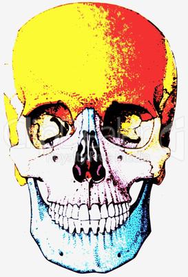 Schädel des Menschen, human skull