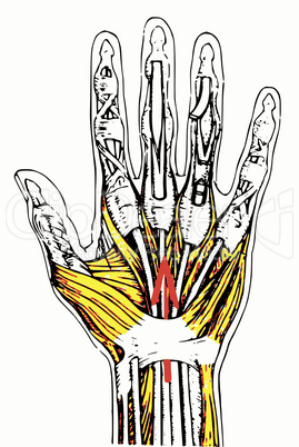 Tendons and muscles of the hand/ Sehnen und Muskeln