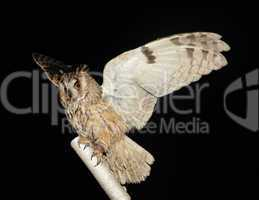 owl on a stick on the black background