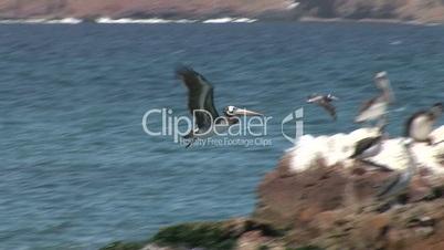 Pelikan fliegt