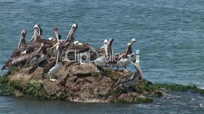 Pelikane, Südamerika
