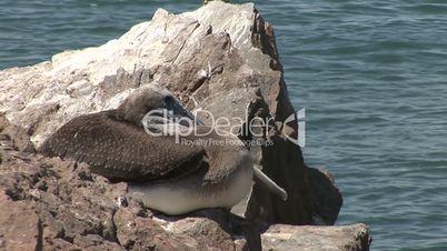 Pelikan schläft