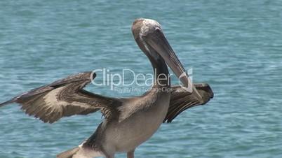 Pelikan fliegt los